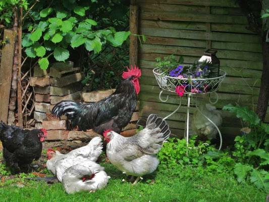 die Hühnerfamilie wird diesmal eine größere Rolle spielen