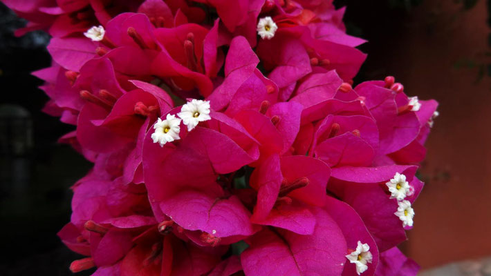 Blütenpracht im Urwald nördlich von Ollantaytambo