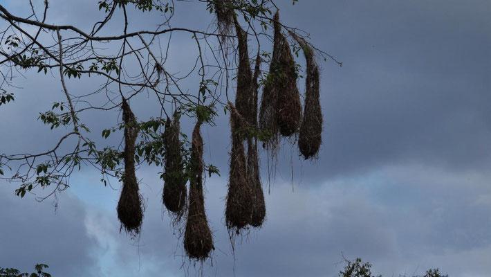 Vogelnester am Baum hängend
