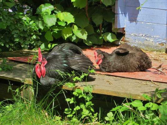 am nächsten Tag lehren uns die Hühner viel, z.B. über Zusammenhalt, Rangordnung und ...
