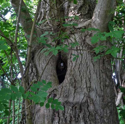 eine yoni-ähnliche Öffnung im Nussbaum mit Perle