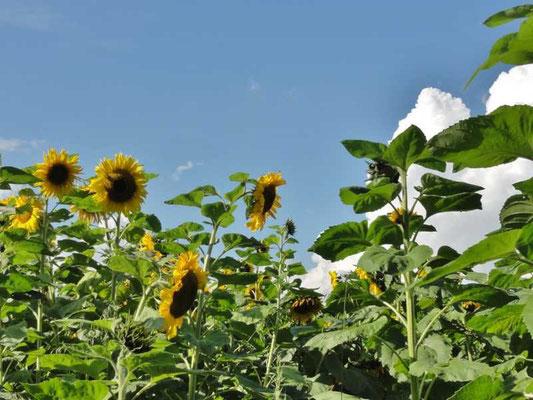 gleich nebenan ein wunderschönes Sonnenblumenfeld