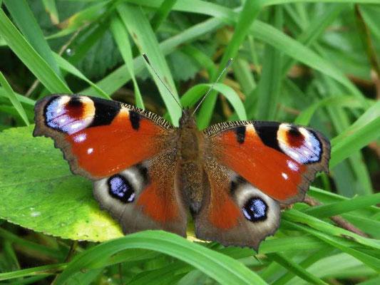 die Schmetterlinge erwärmen sich in den Sonnenstrahlen