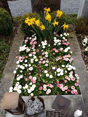 Frühling, weisse und rosa Bellis gemischt und Narzissen