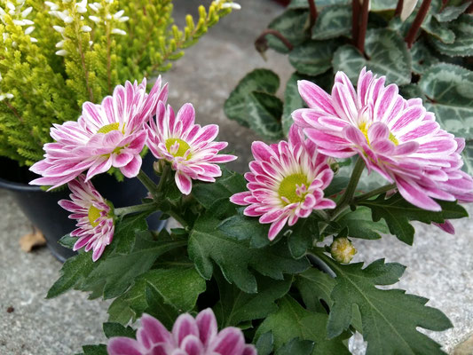 Mini-Chrysanthemen