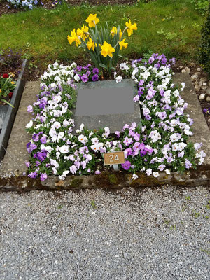 Frühling, Viola Lila-Mischung und Narzissen