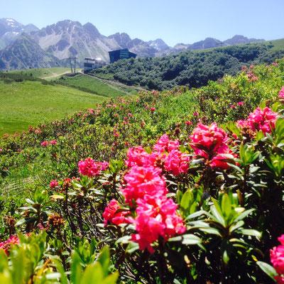 Fellhorn Alpenrose