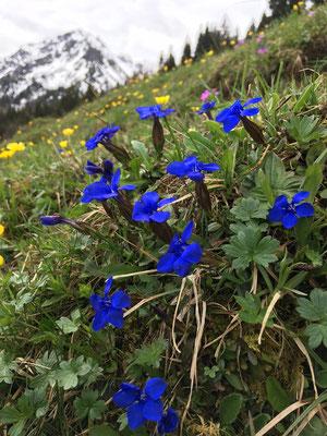 Alpenblüte