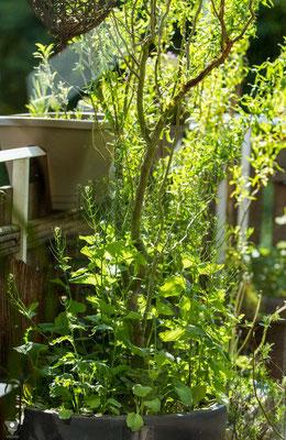 knoblauchsrauke alliaria petiolata anfang mai. die kleineren blätter, welche vorne den topf überragen, sind junge rapspflanzen. die hochgewachsenen sind die knoblauchsrauken mit samenkapseln.