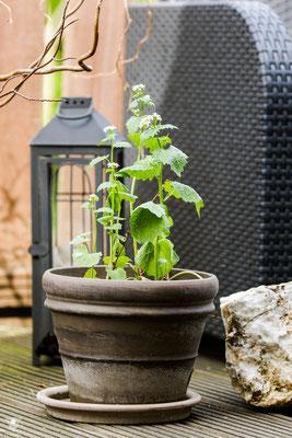 knoblauchsrauke alliaria petiolata anfang mai im ersten jahr auf dem balkon. hier ging es dem waldexemplar direkt nach dem einpflanzen noch nicht so gut.