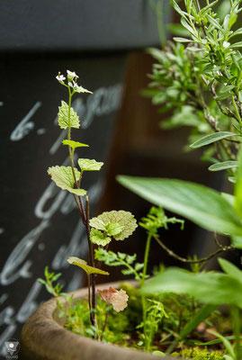 knoblauchsrauke alliaria petiolata mitte mai. dieses exemplar hat sich neben dem lavendel ausgestreut und ist super klein geblieben.