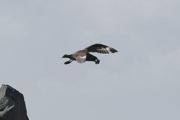 Riesensturmvogel klaut ein Zügelpinguinei