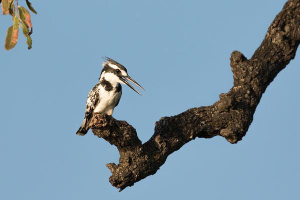Graufischer (Kingfisher)
