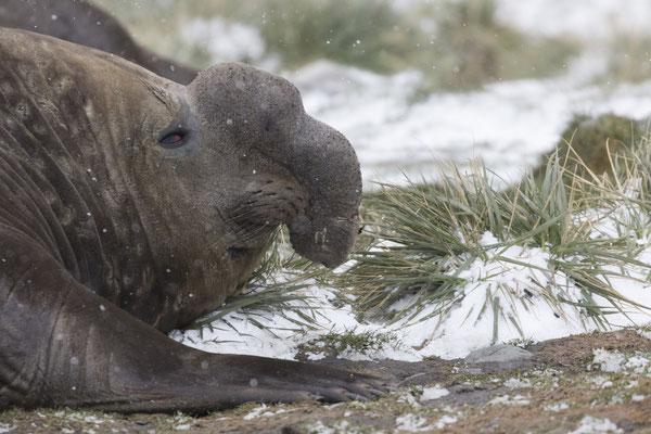 See-Elefant Männchen