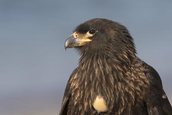 Falkland Karakara