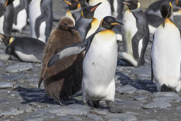 Junger Königspinguin rennt Eltern nach
