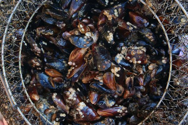 Muscheltauchen