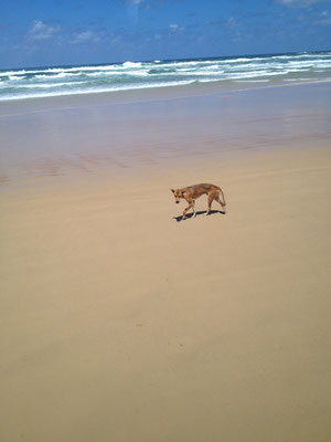 dingo-fraser-island