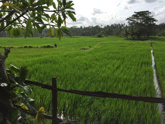 bali-ubud-rice-terrace