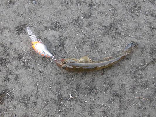 ハゼクラで釣れたハゼの写真
