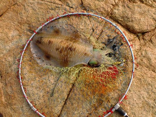 タモの中のアオリイカの写真