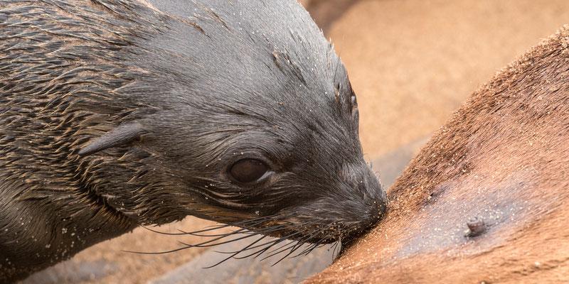 Zeeleeuwenjong