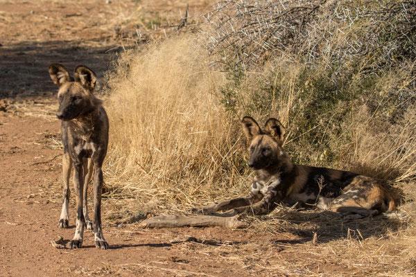 Wilde honden