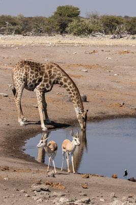 Giraffe met springbokken
