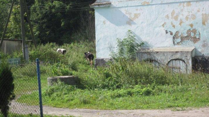 ThaVla Kühe neben einem alten deutschen Haus