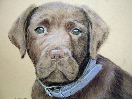 """Brauner Labrador"" Pastell auf Tonpapier DIN A4 Format 01.2006"