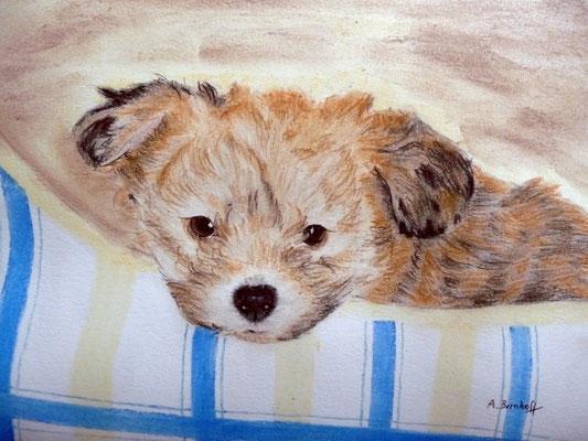 """""""Unser Dobby"""" (Bolonka Zwetna / 9 Wochen) Pastell auf Tonpapier DIN A4 Format 08.2008"""