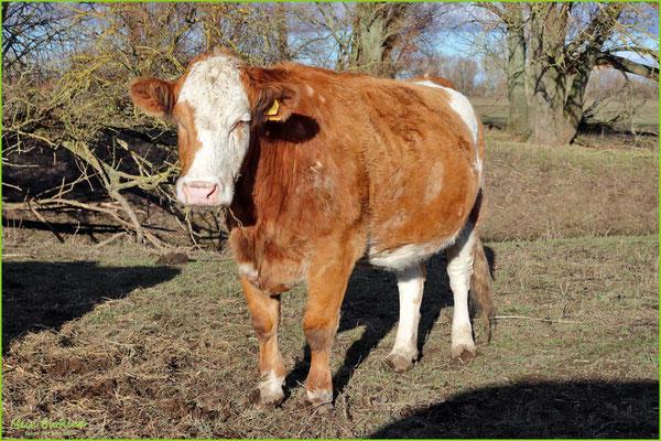 Rind 28 | Simmentaler | Kuh | 15 Jahre