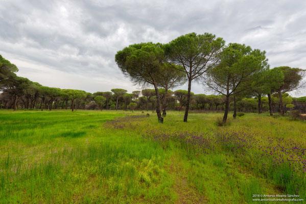 Caminando entre pinares / Walking among pine forests