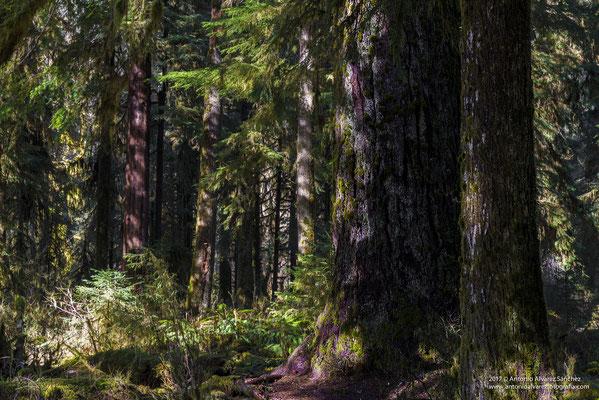 Paseando por el bosque de Hoh  / Walking through the forest of Hoh
