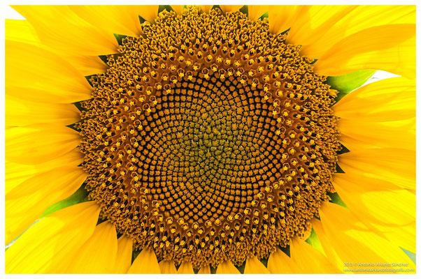 El girasol  /  Sunflower