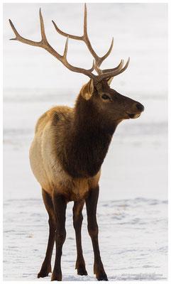 Ciervo  /  Elk