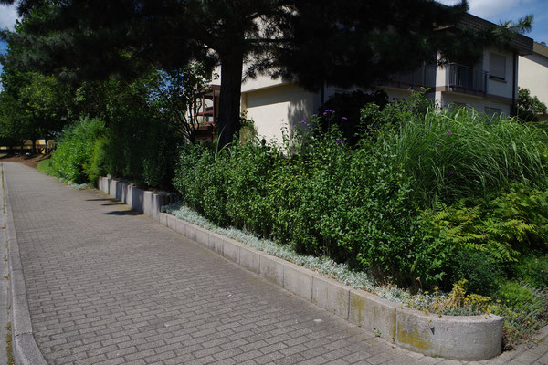 Eine grüne Blätterwand am Gehweg vor dem Haus