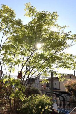 アオダモ樹形