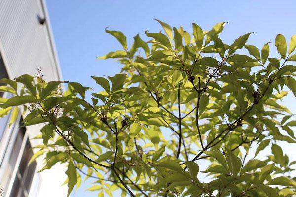 新緑時期のアオダモと空