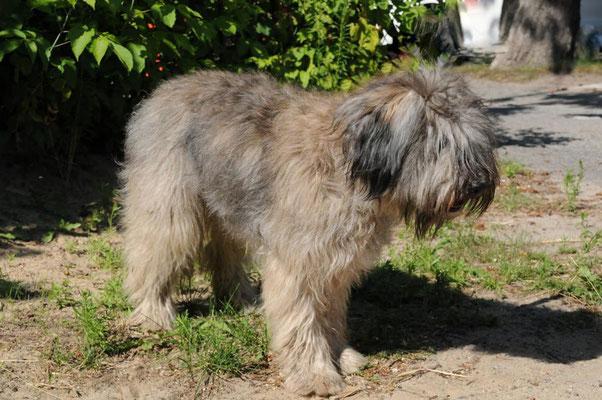 Schafpudel (Canis lupus f. familaris) werden bereits recht früh in Schriftquellen erwähnt. Es sind zotthaarige Herdengebrauchs- und Hütehunde.