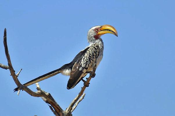 Der Südliche Gelbschnabeltoko (Tockus leucomelas) ist eine afrikanische Vogelart, die zu den Nashornvögeln (Bucerotidae) gehört.
