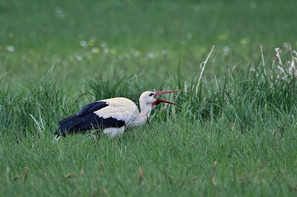 Weißstorch (Ciconia ciconia) auf Nahrungssuche.