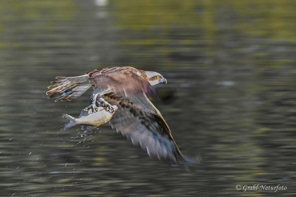 Fischadler (Pandion haliaetus) mit Beute - geschafft