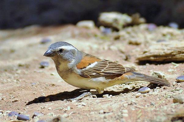 Kapsperling (Passer melanurus) - weibl. Es ist eine Vogelart aus der Familie der Sperlinge. Die Art kommt ausschließlich im südlichen Afrika vor.