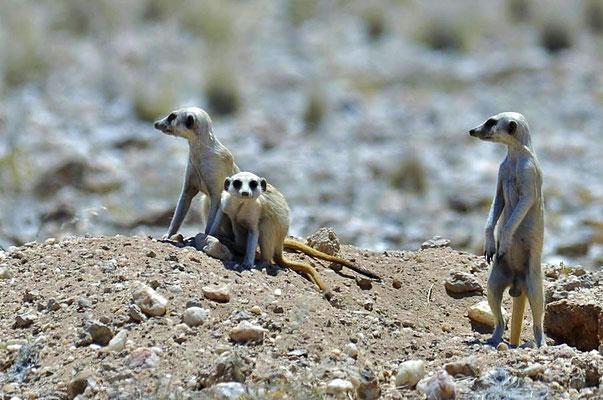 Als sehr gesellige Tiere leben Erdmännchen (Suricata suricatta) in Kolonien mit bis zu dreißig Individuen.