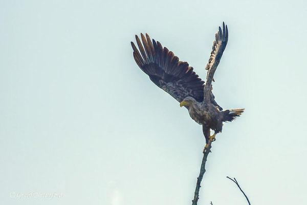 Seeadler (Haliaeetus albicilla) im Gegenlicht.