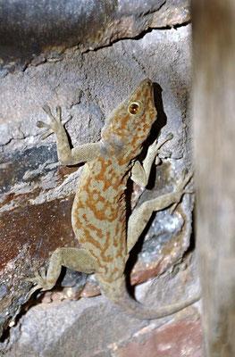 Fächerfingergecko (Ptyodactylus hasselquistii), der Name Fächerfinger bezieht sich auf die fächerartigen Zehen, auf deren Unterseite sich radial angeordnete Haftlamellen befinden.