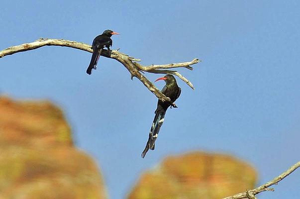 Der Grünbaumhopf (Phoeniculus purpureus) ist eine Vogelart aus der nur in Afrika vorkommenden Familie der Baumhopfe.