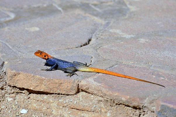 Die Namibische Felsenagame (Agama planiceps) - männl, ist in den Steppen- und Felslandschaften Namibias beheimatet.