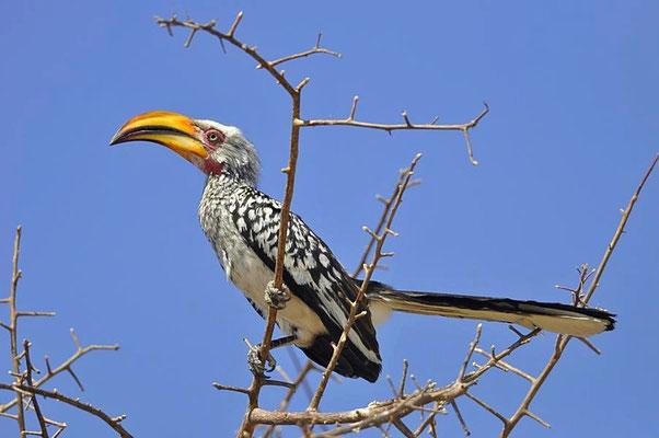 Beim Südlichen Gelbschnabeltoko (Tockus flavirostris) besteht zwischen den Geschlechtern kaum ein nennenswerter Dimorphismus.